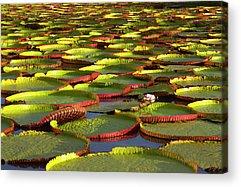 Victoria Amazonica Acrylic Prints