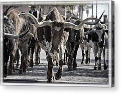 Cattle Drive Photographs Acrylic Prints