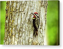 Sapsucker Acrylic Prints