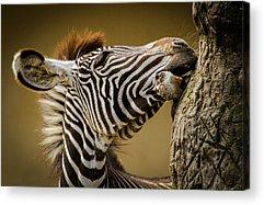 Foal Photographs Acrylic Prints