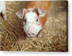 Pig Photographs Acrylic Prints
