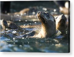 Sea Lions Acrylic Prints