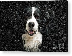 Dog In Snow Photographs Acrylic Prints
