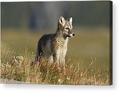 Arctic Fox Acrylic Prints