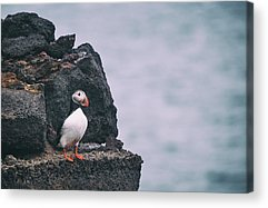 Atlantic Puffin Acrylic Prints