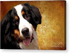 Bernese Mountain Dog Acrylic Prints