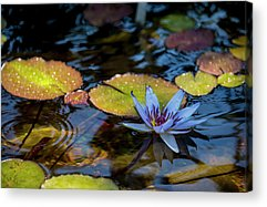 Lilly Pad Photographs Acrylic Prints
