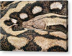 Python Acrylic Prints