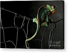 Chameleon Acrylic Prints