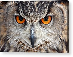 Great Horned Owl Acrylic Prints
