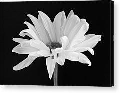 Daisies Acrylic Prints