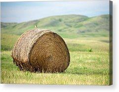 Meadowlark Acrylic Prints