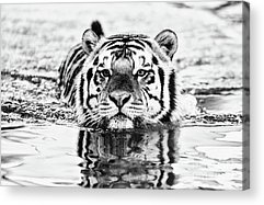 Mike The Tiger Acrylic Prints