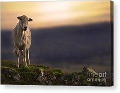 Sheep Rock Acrylic Prints