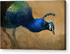 Peacock Acrylic Prints