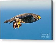 Fastest Bird In Canada Acrylic Prints