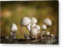 Agaricales Acrylic Prints