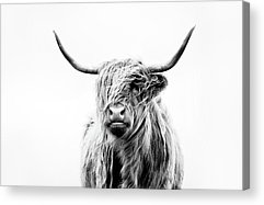 Cow Acrylic Prints