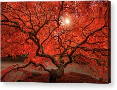 Red Tree Acrylic Prints