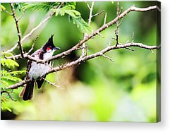 Red Whiskered Bulbul Acrylic Prints