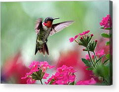Hovering Acrylic Prints