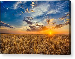 Wheat Acrylic Prints
