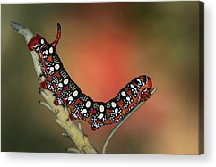 Caterpillars Acrylic Prints