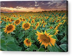 Sunflower Fields Acrylic Prints