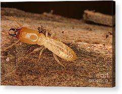 Eastern Subterranean Termites Acrylic Prints