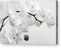 Phalaenopsis Acrylic Prints