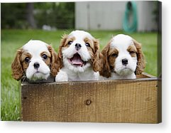 Puppy Acrylic Prints