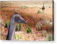 Emu Acrylic Prints