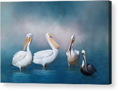 American White Pelican Acrylic Prints