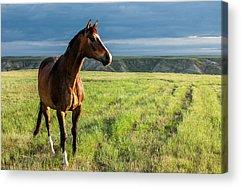 Bay Horse Acrylic Prints