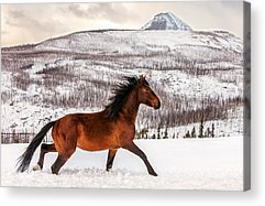 Brown Horse Acrylic Prints