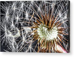 Seed Head Acrylic Prints