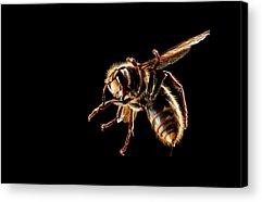 Hornet Photographs Acrylic Prints