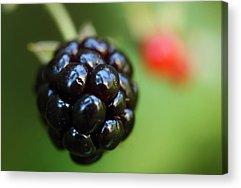 Blackberries Acrylic Prints