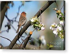 House Finch Acrylic Prints
