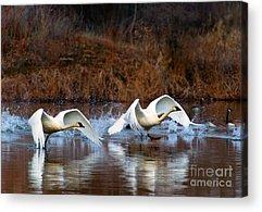 Trumpeter Swan Acrylic Prints