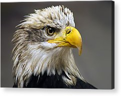 American Bald Eagle Acrylic Prints
