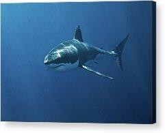 Sharks Acrylic Prints