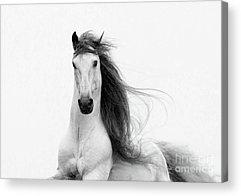 Andalusian Stallion Acrylic Prints