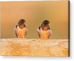 Barn Swallow Acrylic Prints