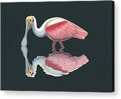 Spoonbill Acrylic Prints