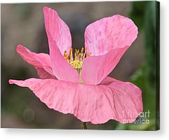 Pretty Pink Poppy Macro Acrylic Prints