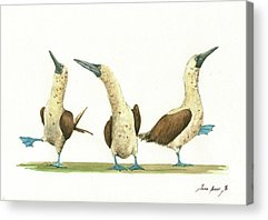 Blue Footed Booby Acrylic Prints