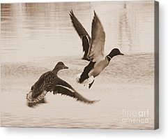 Two Ducks In Flight Photographs Acrylic Prints