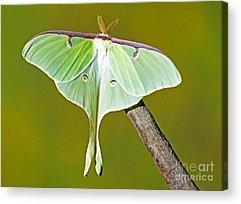 Pterygota Acrylic Prints