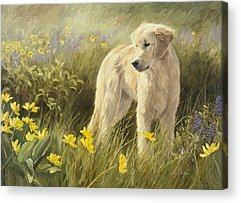 Golden Retriever Acrylic Prints